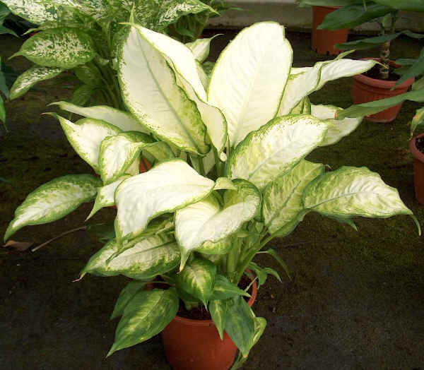 un expert en aglaonema, please Dieffe20