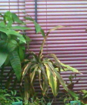 jeune plant dracaenae lemon lime Dracen10