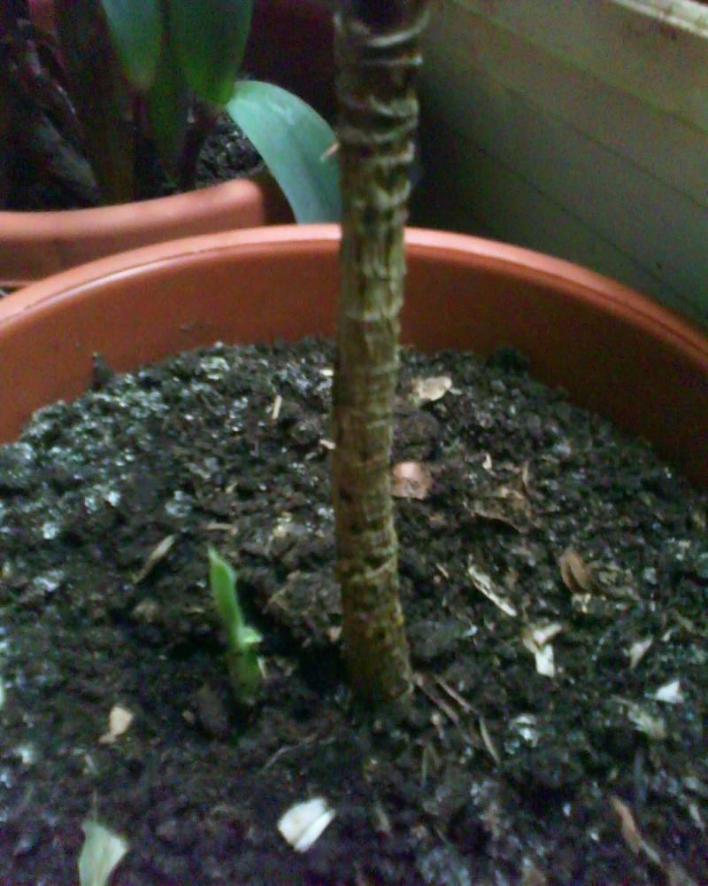 jeune plant dracaenae lemon lime Dracen13