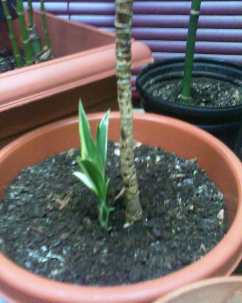 jeune plant dracaenae lemon lime Dracen14