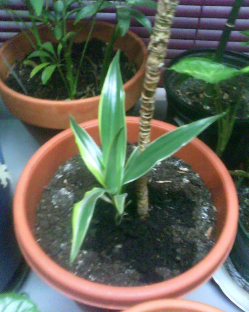 jeune plant dracaenae lemon lime Dracen15
