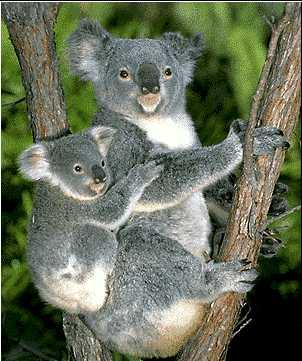 Les animaux - Page 7 Koala210