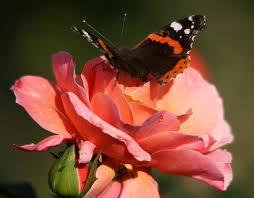 La Rose et le papillon Images16