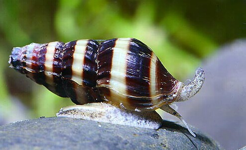 invasion d'oeufs d'escargot Anento10