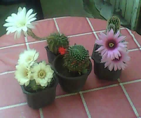 Kaktusi iz semena Dsc_0012