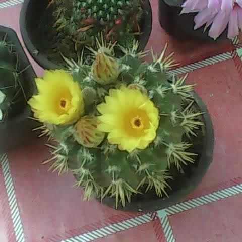 Kaktusi iz semena Dsc_0013