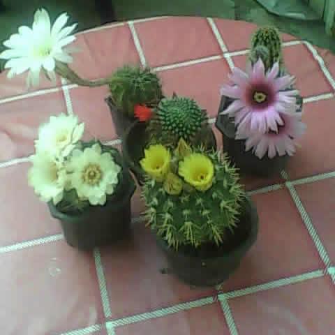 Kaktusi iz semena Dsc_0014