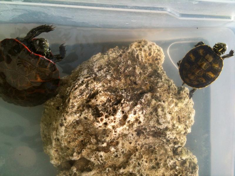 identification de fire ma new turtle et sexe si possible à confirmer ;) 02812