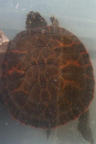 identification de fire ma new turtle et sexe si possible à confirmer ;) 04010