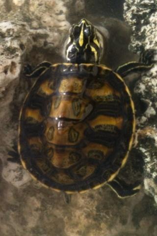 identification de fire ma new turtle et sexe si possible à confirmer ;) 04110