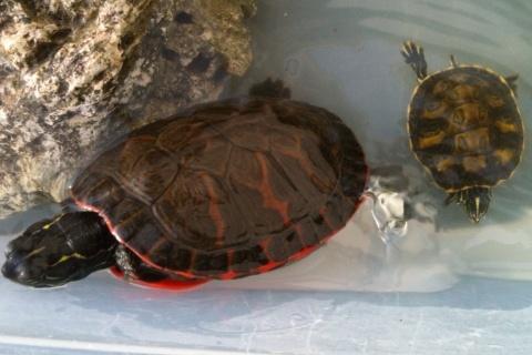 identification de fire ma new turtle et sexe si possible à confirmer ;) 05710