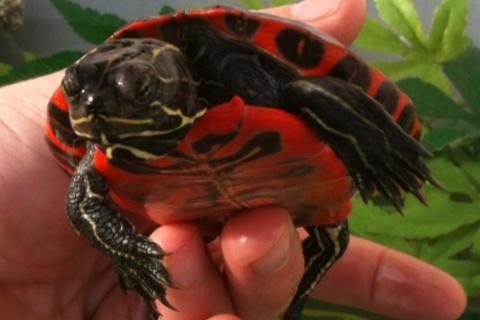 identification de fire ma new turtle et sexe si possible à confirmer ;) 06010