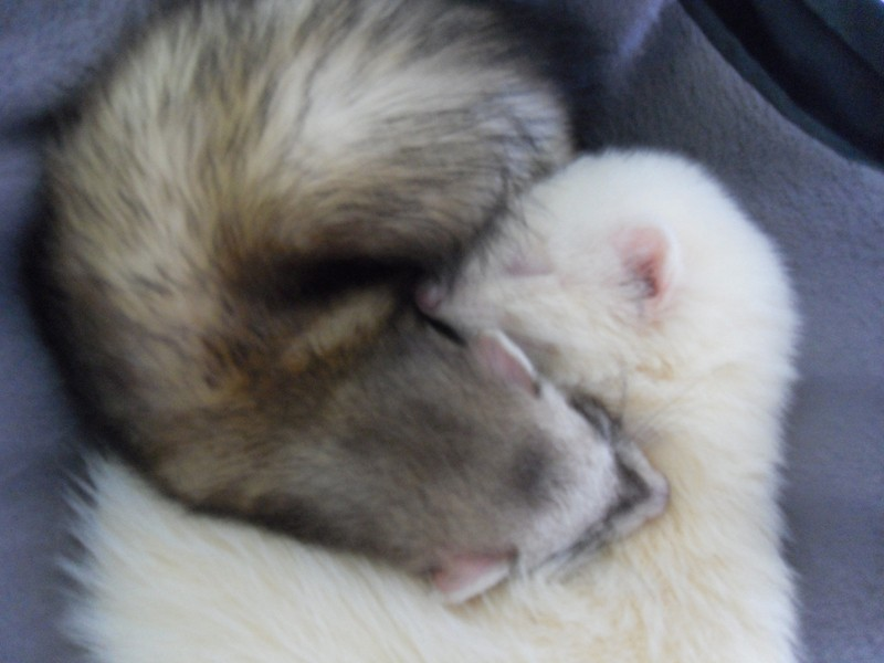 Sabah furette albinos - adoptée par Elise L. Sabah_17