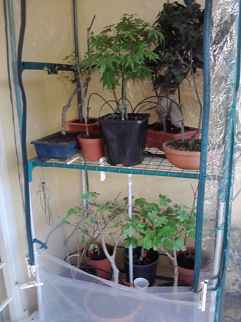 Dove coltiviamo i nostri bonsai - Pagina 13 P2403111