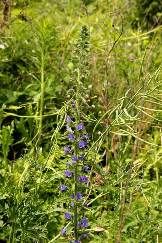 Vipérine commune / Echium vulgare subsp. vulgare 2012_018