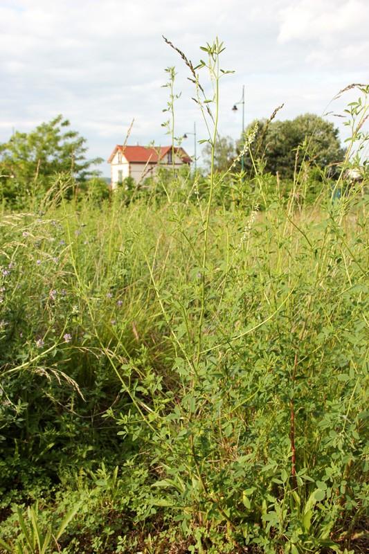 Mélilot blanc / Melilotus albus 2012_019