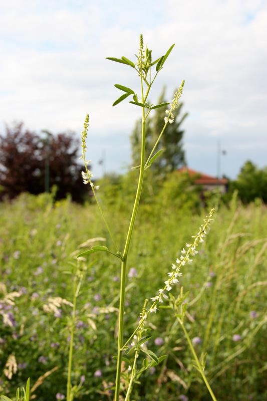 Mélilot blanc / Melilotus albus 2012_020