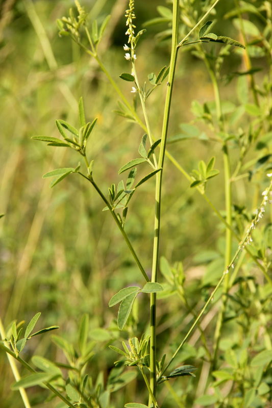 Mélilot blanc / Melilotus albus 2012_021