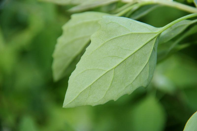 Une invitée dans mes buttes, Chenopode blanc (Chenopodium album L.) 2012_063