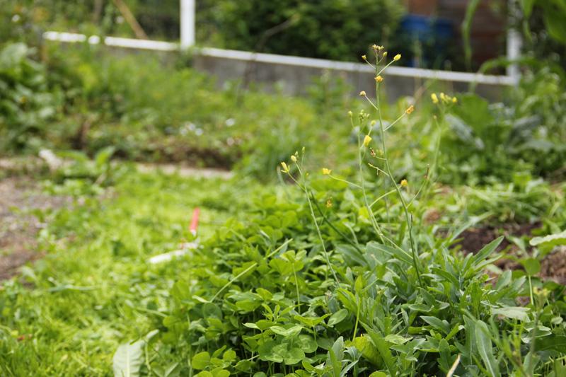 roquette sauvage / Diplotaxis tenuifolia 2012_104