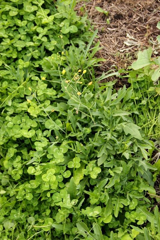 roquette sauvage / Diplotaxis tenuifolia 2012_109