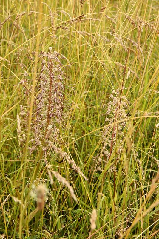 Etrange habitante de la prairie - Orchis bouc - Himantoglossum hircinum (L.) Spreng. 2012_125