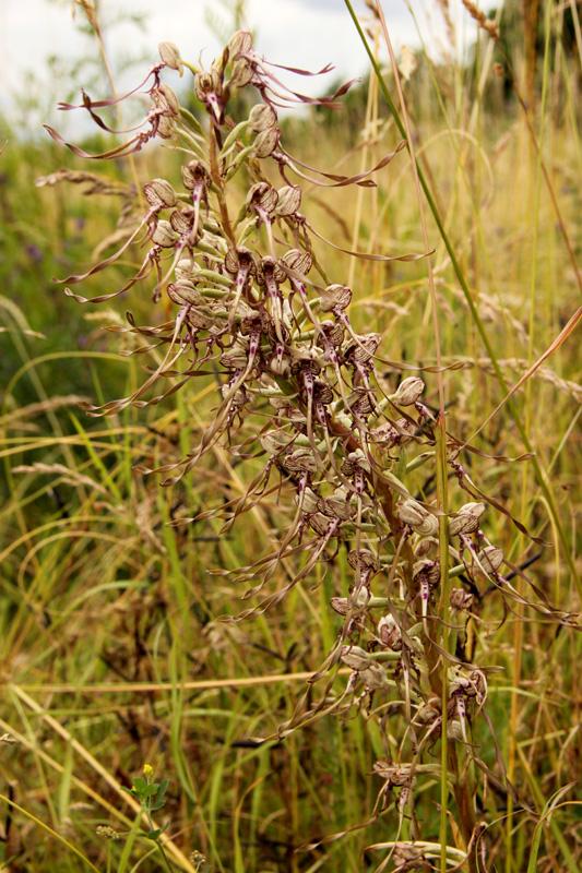 Etrange habitante de la prairie - Orchis bouc - Himantoglossum hircinum (L.) Spreng. 2012_127