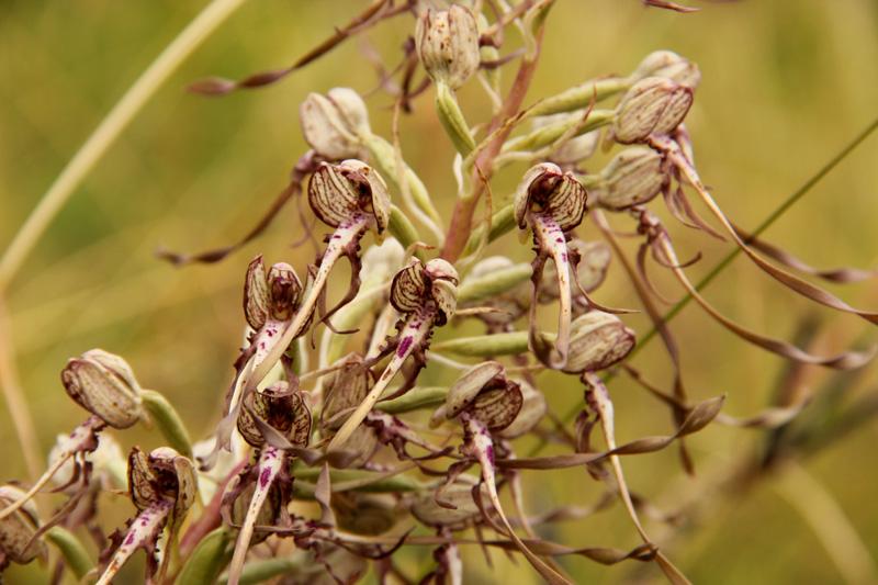 Etrange habitante de la prairie - Orchis bouc - Himantoglossum hircinum (L.) Spreng. 2012_128