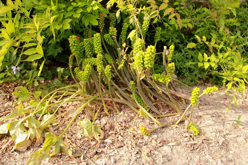 Gouet tacheté / Arum maculatum 2012_136