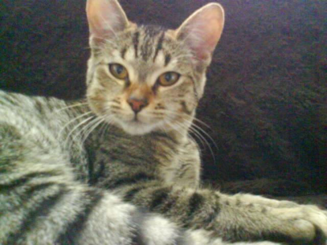 BANJO, chaton de 6 mois à l'adoption (59) -R-VV-LBC- F Dsc02510