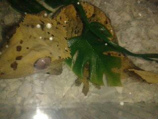 Vend ou Echange Rhacodactylus Cilliatus 13405310