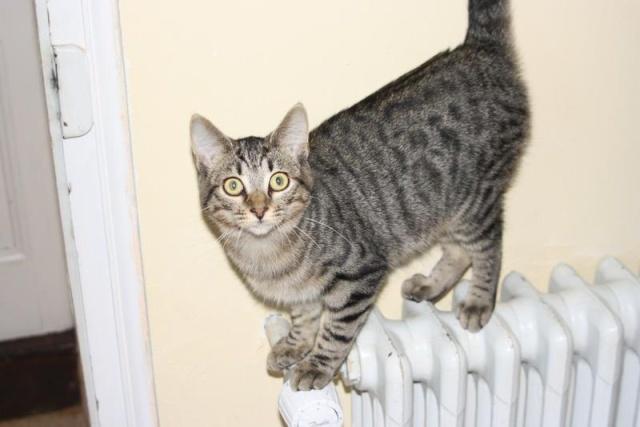 Grichka chatte femelle tigrée grise et noire - née 01/2011 Grichk11