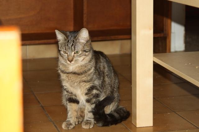Hestia - tigrée/tabby brun -née 02/2012 Img_7328