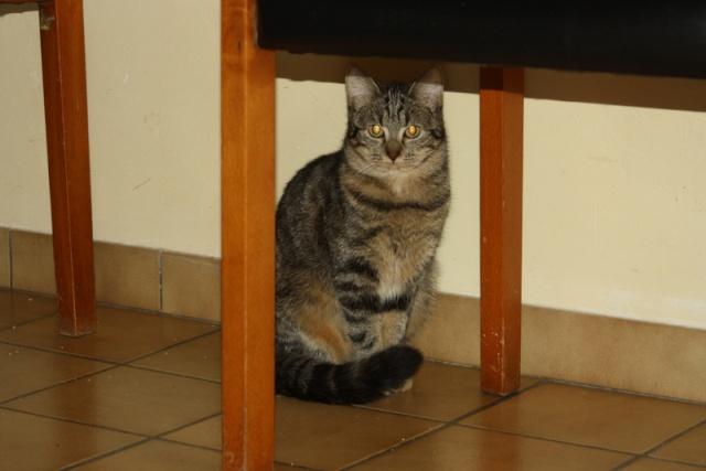 Hestia - tigrée/tabby brun -née 02/2012 Img_7329