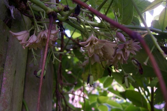 Stauntonia hexaphylla Holboe10