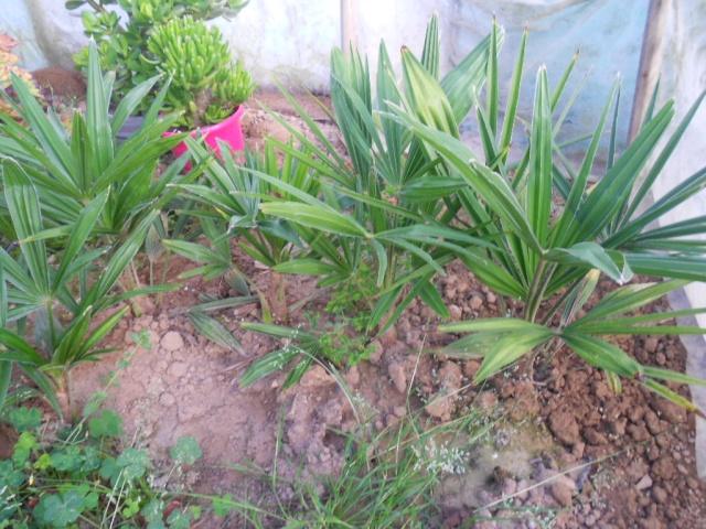 dattiers issus de graines et qui ne poussent pas 29_09_11