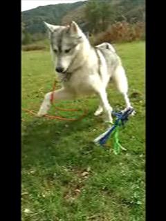 """Baïkal """"Fantastic Wolf Silver"""" 1er Husky Video-10"""