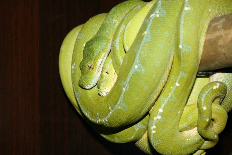 Tentative de repro chez Morelia viridis Sorong Img_4719