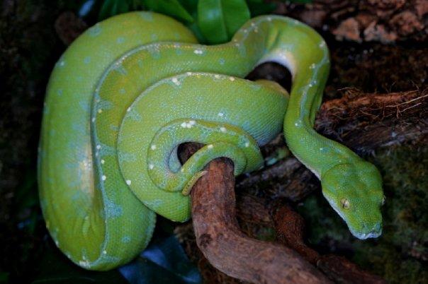 Tentative de repro chez Morelia viridis Sorong Photo111