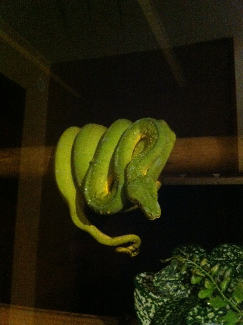 Tentative de repro chez Morelia viridis Sorong Viridi11