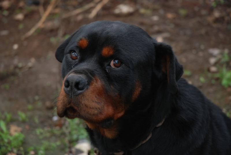 Baily, mâle rottweiler de 4 ans à adopter URGENT Dsc_0117