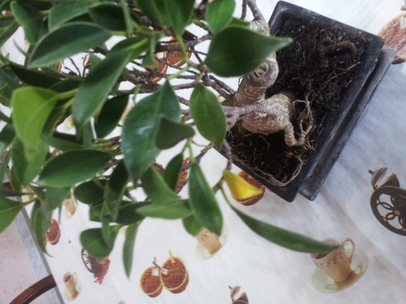 Prime armi bonsai ficus consigli foto Bonsai11