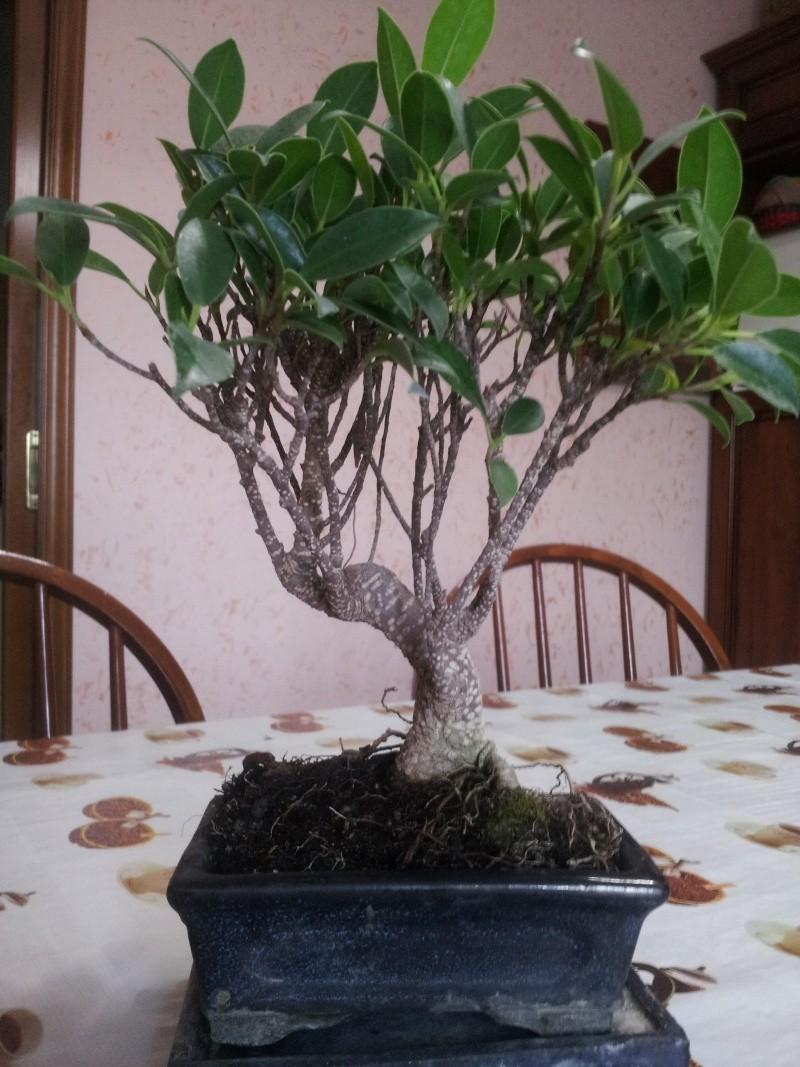 Prime armi bonsai ficus consigli foto Bonsai14