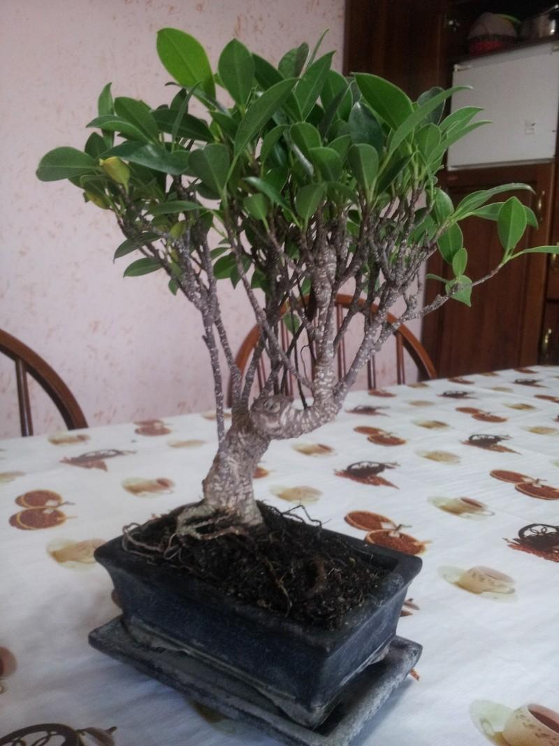Prime armi bonsai ficus consigli foto Bonsai15