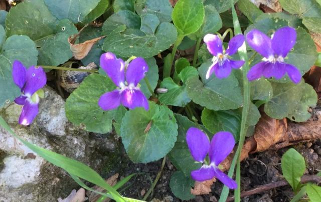 Les violettes - Page 13 0b33e410