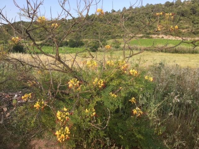 Cesalpinie de Gillies (faux oiseau de Paradis) 11486c10