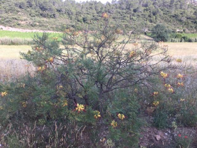 Cesalpinie de Gillies (faux oiseau de Paradis) 11b57c10