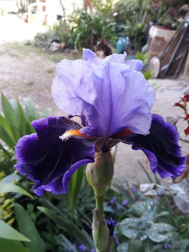Floraison d'iris 2017 - 2018 - 2019 - Page 14 145fc810