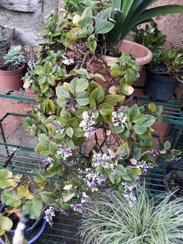 plectranthus purpuratus 2465e310