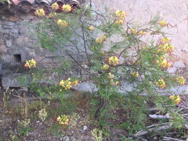 Cesalpinie de Gillies (faux oiseau de Paradis) 38675f10